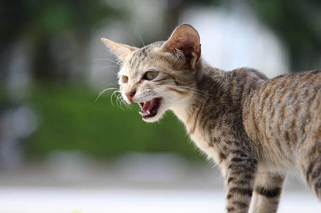 Por que os gatos miam?