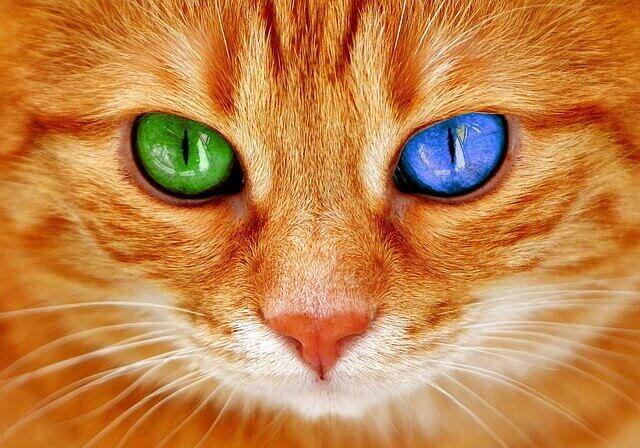 Por que alguns gatos têm olhos coloridos diferentes?