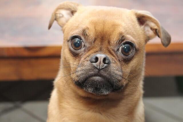 Por que meu cachorro tem olhos vermelhos?