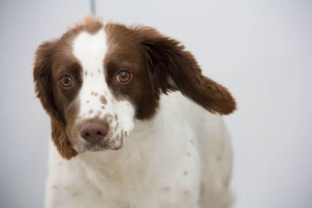 Por que meu cão coça tanto as orelhas?