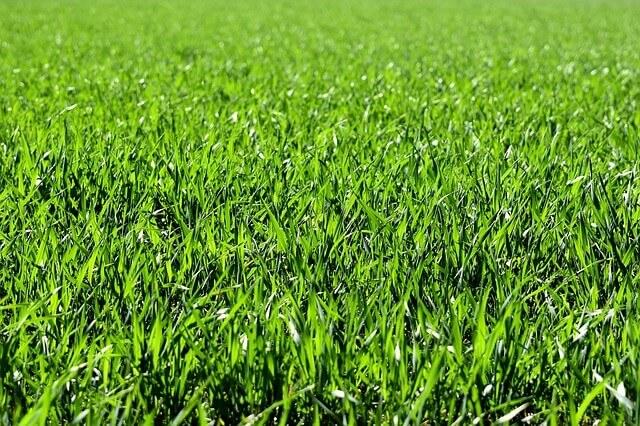 Por que os cães comem grama?