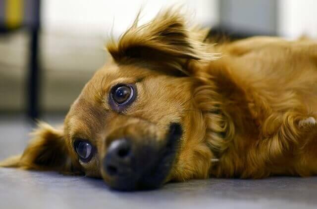 Posso dar dextrometorfano para o meu cachorro?