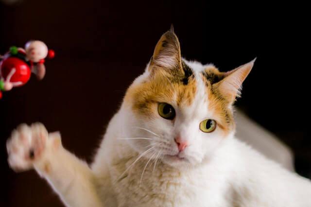 Prednisona e vômitos em gatos