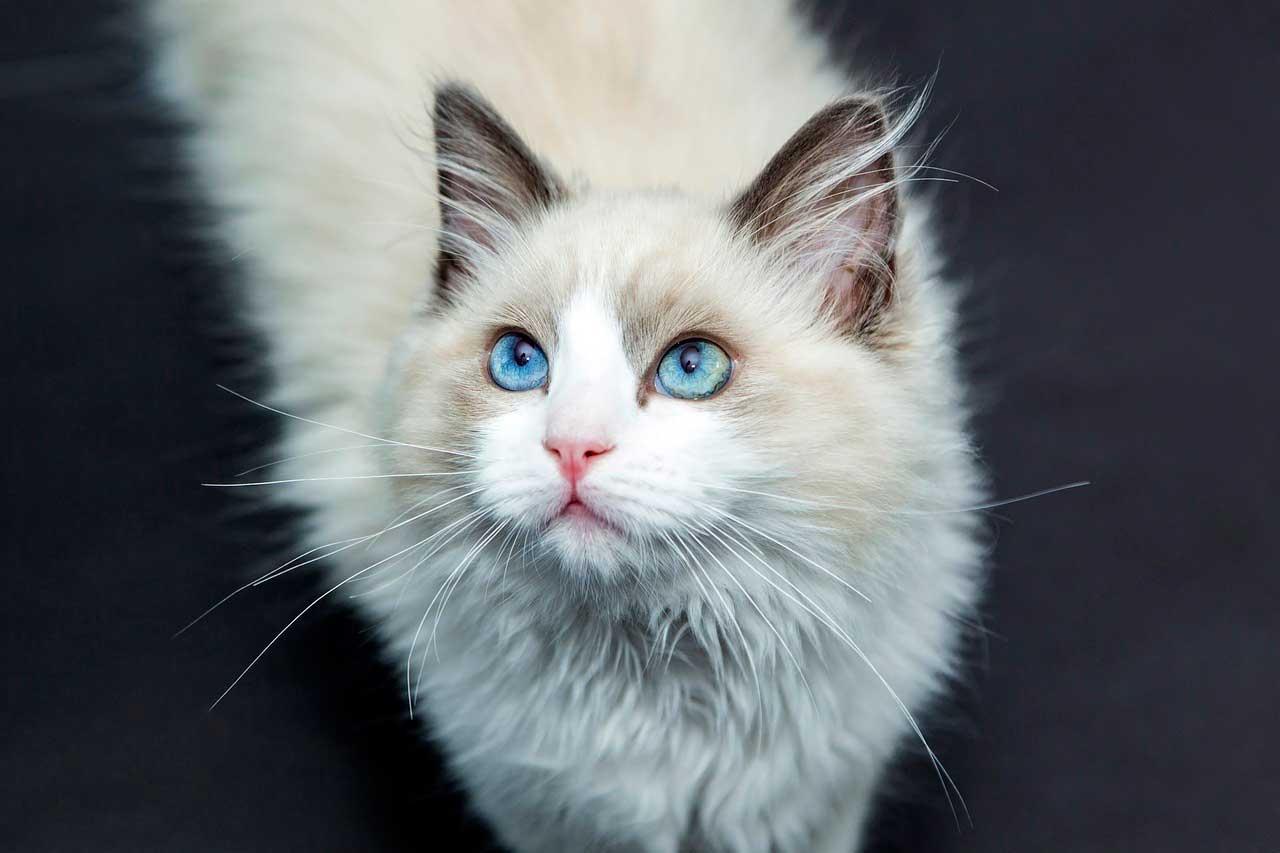 Prednisona reduz a perda de cabelo em gatos?