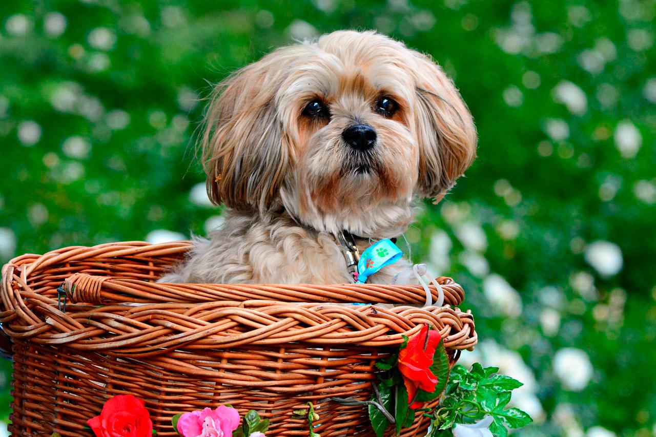 Problemas comuns de saúde em cães jovens Lhasa Apso