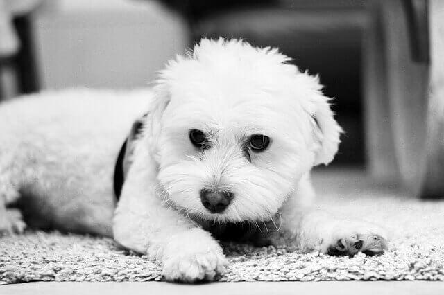Problemas de saúde em cães Malteses