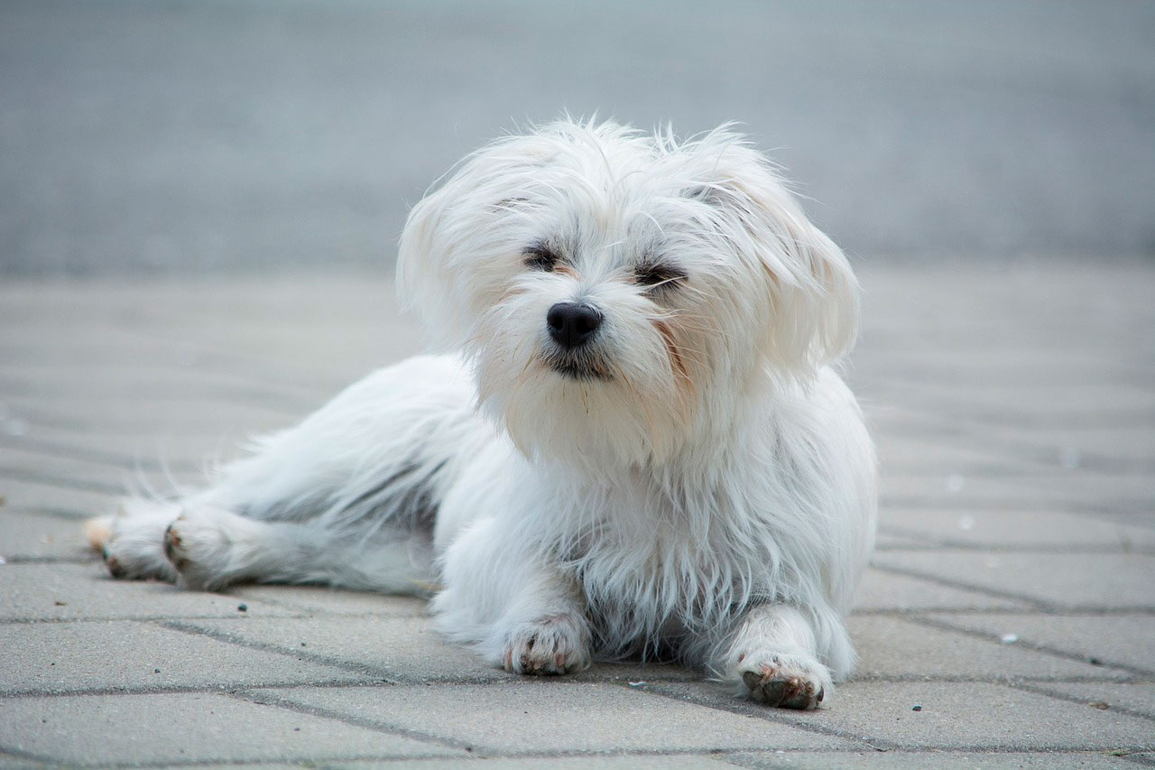 Problemas neurológicos em cães malteses