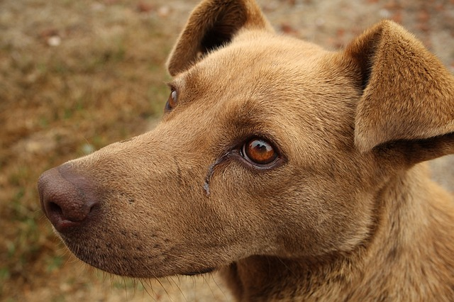 Produção insuficiente de urina em cães