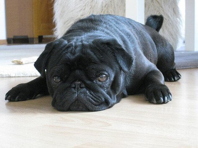 O Pug preto: cinco coisas que você não sabia