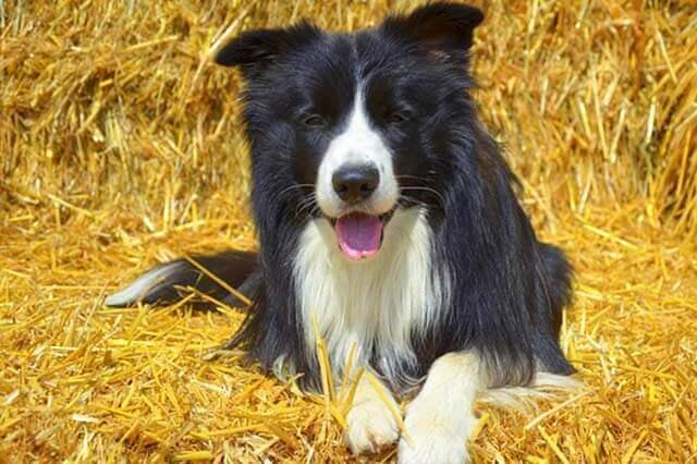 Como tratar Pulga em Cachorro