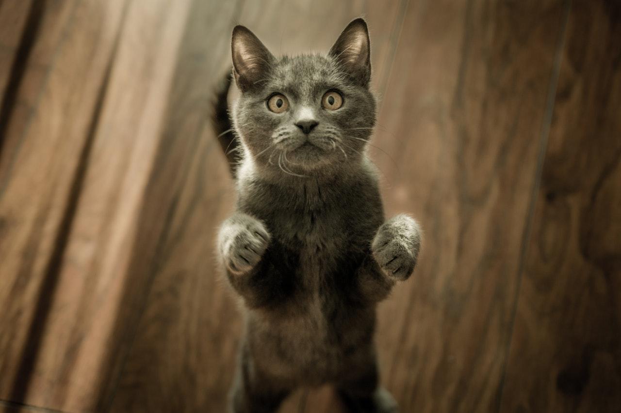 Pulgas em gatos | Tratamento com remédios caseiros