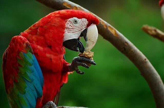 Quais são as coisas mais saudáveis que você pode alimentar um papagaio?