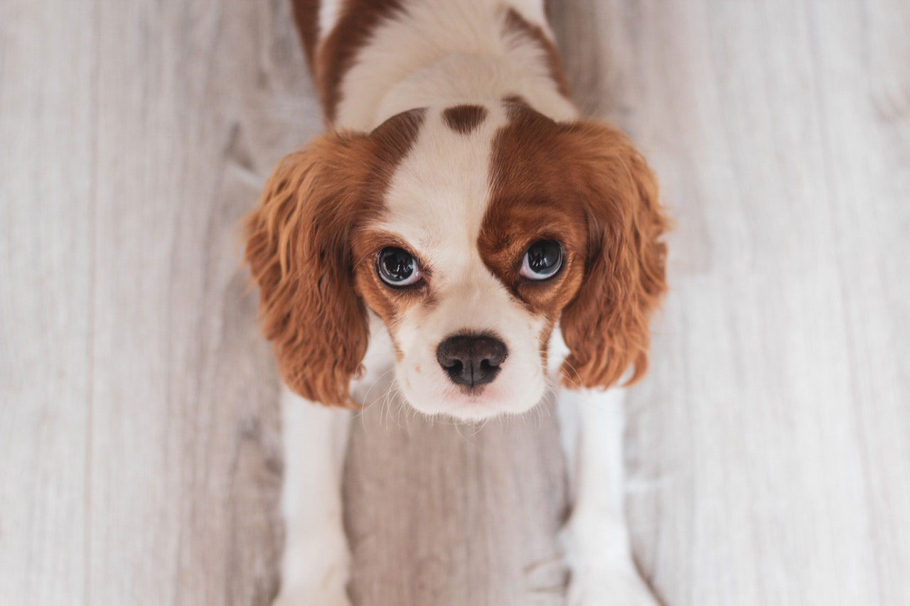 Quais são os sintomas da doença auto-imune em cães?