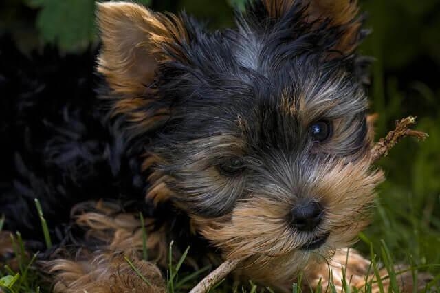 Quais são os tratamentos para o colapso traqueal em cães?