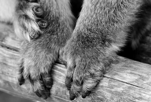 Quais são os tratamentos para o fungo e levedura nas patas de cachorro?