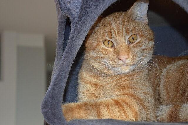 Qual o melhor alimento para um gato com diabetes?