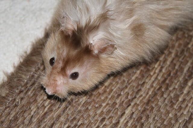 Quanto tempo os hamsters vivem?
