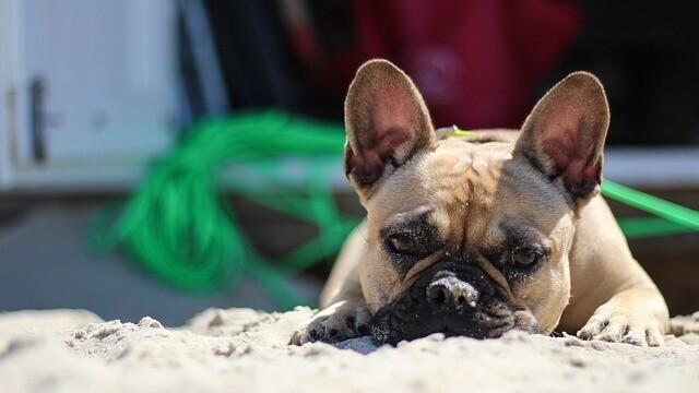 Queimadura de sol em cachorro? Como proteger naturalmente seu cachorro do sol