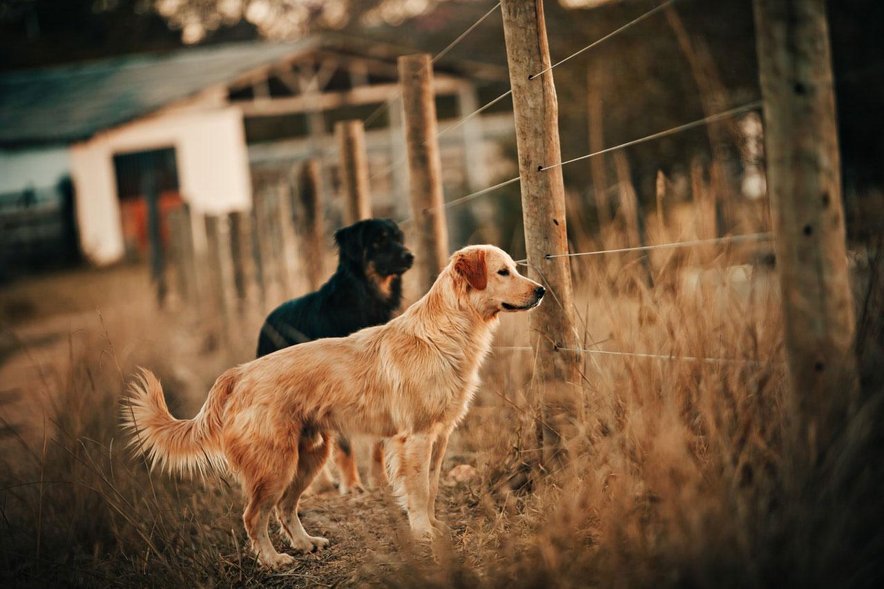Raças de cães de caça