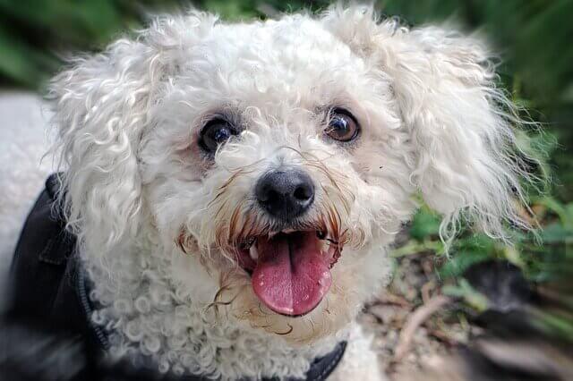 Raças de cães Hipoalergênicos