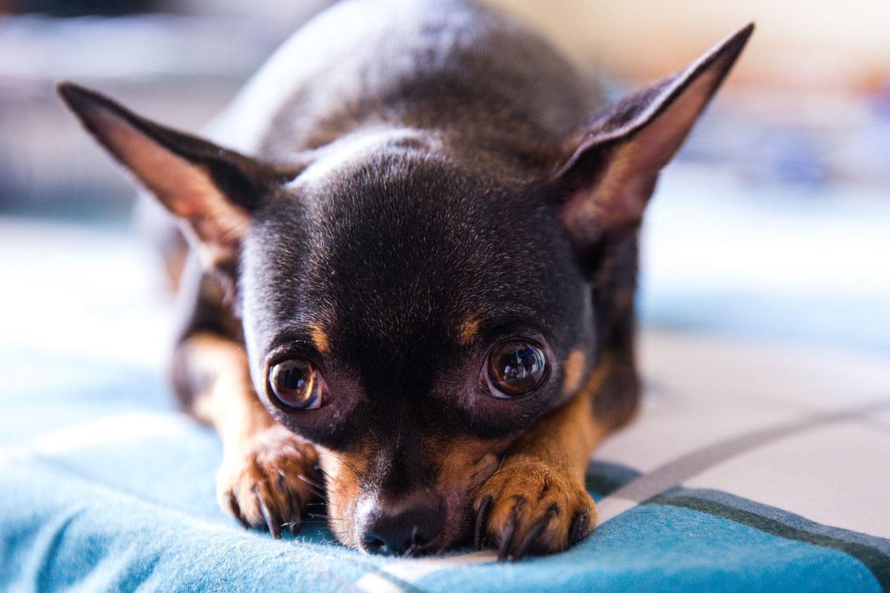 Raças de cães mais saudáveis