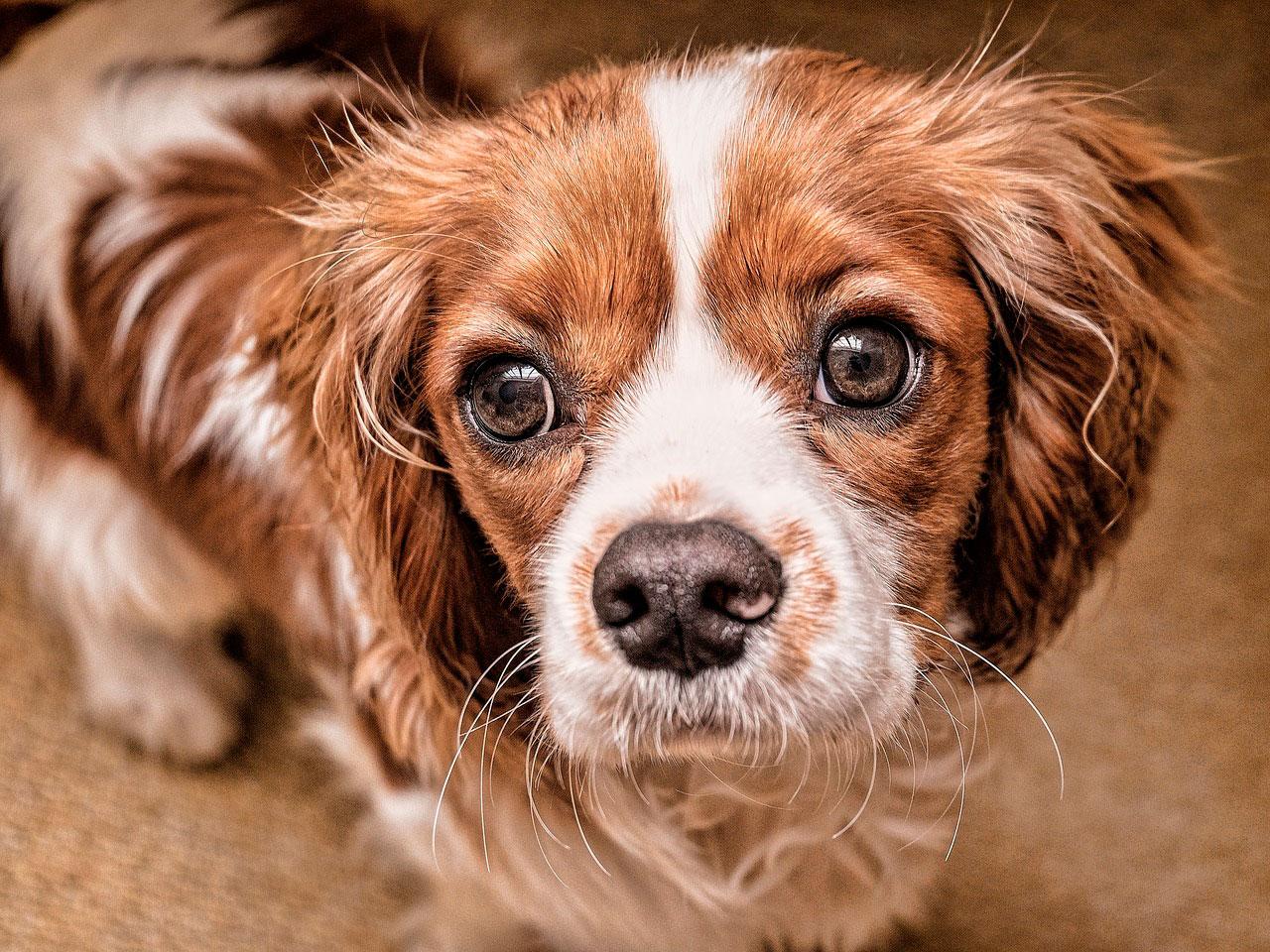 Raças de cães que são conhecidas por seu espírito gentil