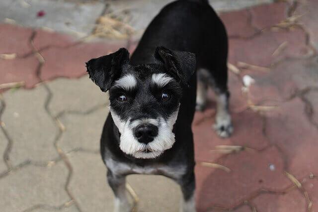 Regurgitação em cães