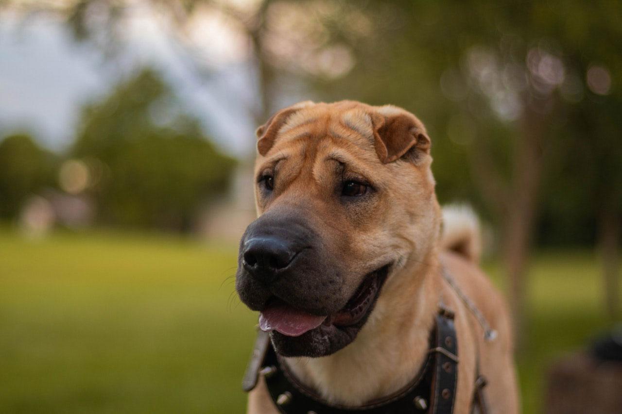 Remédios naturais para cães ansiosos