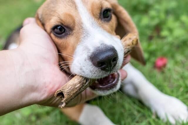 6 razões pelas quais Beagles são bons animais de estimação