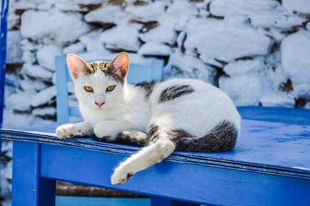 7 sinais que seu gato pode ter artrite