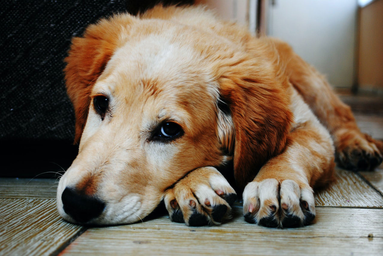 Sinais chave do envelhecimento dos animais de estimação