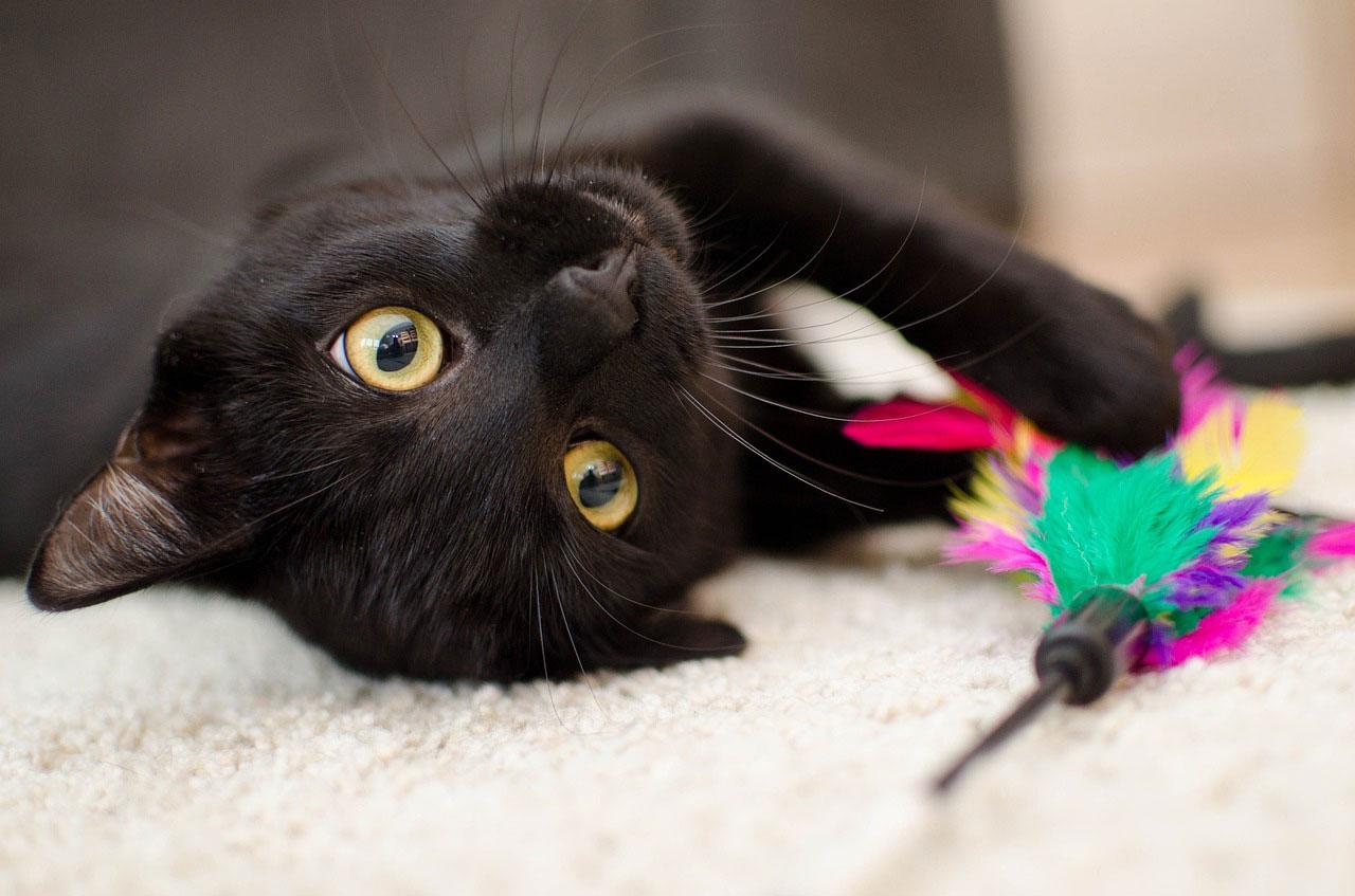 Sinais de que seu gato pode estar com dor