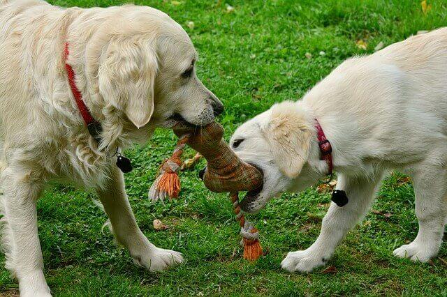 Sinais da doença da gengiva (gengivite) nos cães