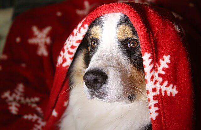 Sinais e sintomas de um tumor hemorrágico no abdômen de um cão