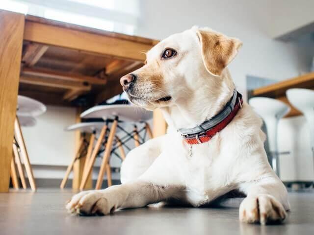 Sinais e Sintomas de Ansiedade e Separação em Cachorros
