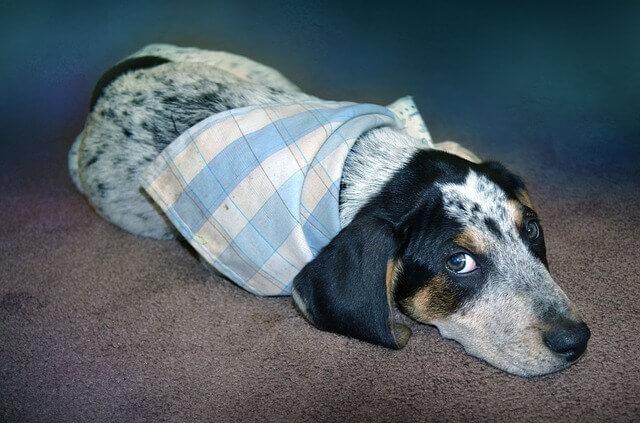 5 sinais e sintomas que seu cão está com dor