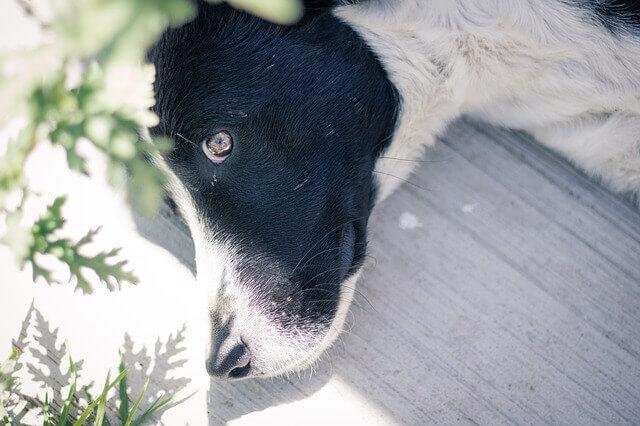 Síndrome de Angústia respiratória aguda (Sara) em cães