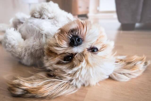 Sintomas de câncer no olho em cães