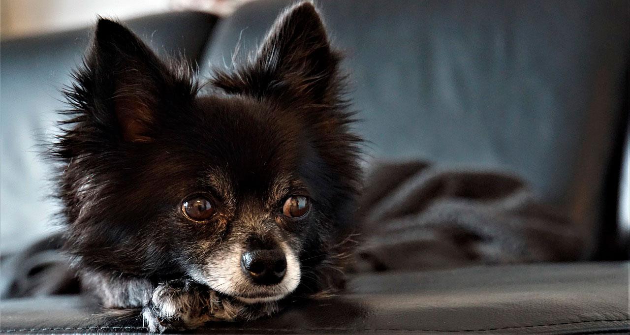 Sintomas de convulsões em Chihuahuas