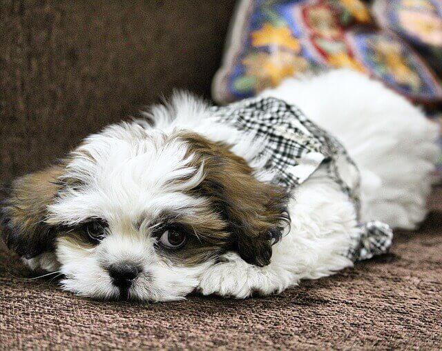 Sintomas de dor no pescoço e dor nas costas em cães pequenos