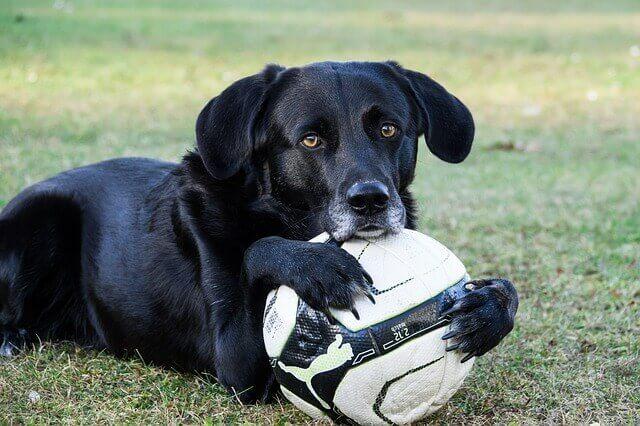 Sintomas de hemorragia interna em cães