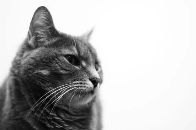 Sintomas de um tumor cerebral em gatos
