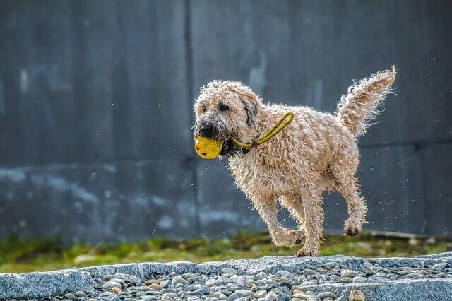 Tensões e entorses causam dor em cães