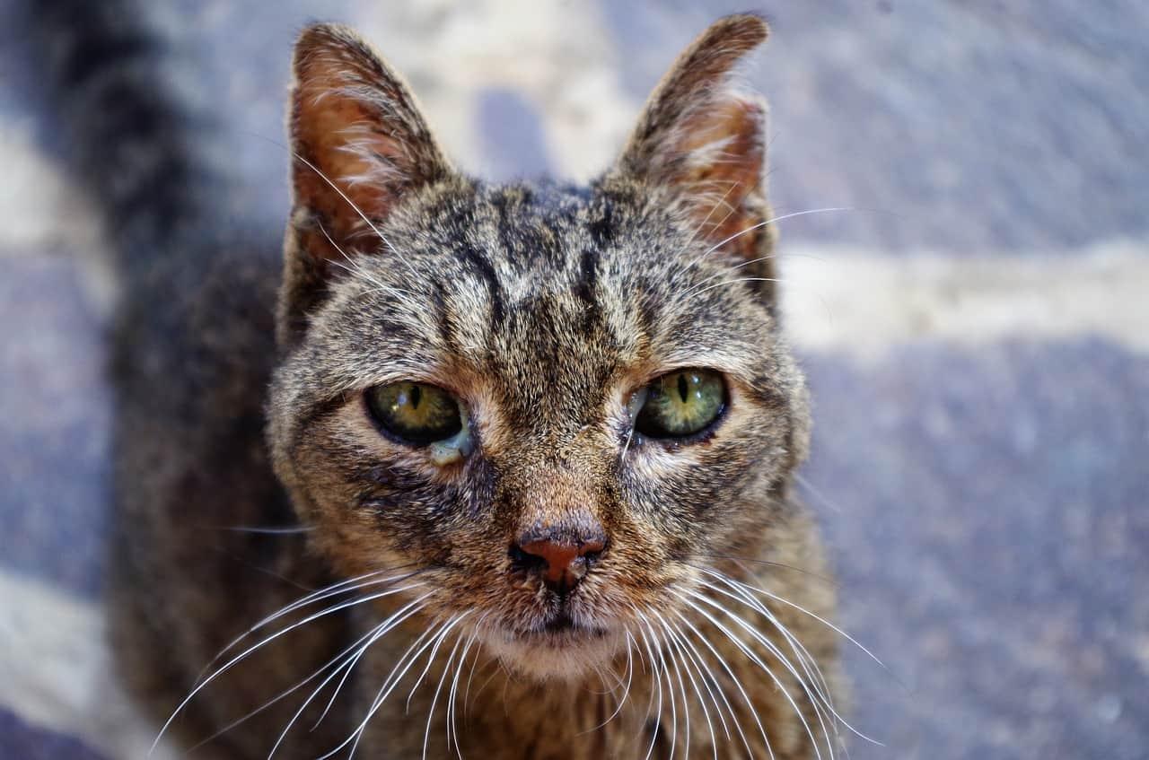 Terapia antiviral em gatos