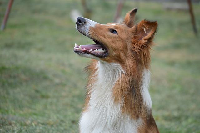 Tosse alérgica em cães