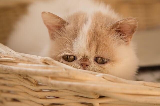 Toxicidade de vitamina A em gatos