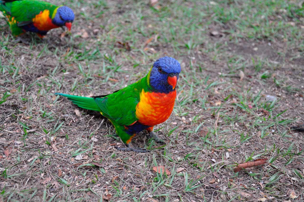 Toxicidade da vitamina D em aves