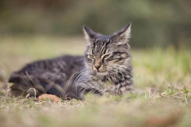 Toxoplasmose em gatos