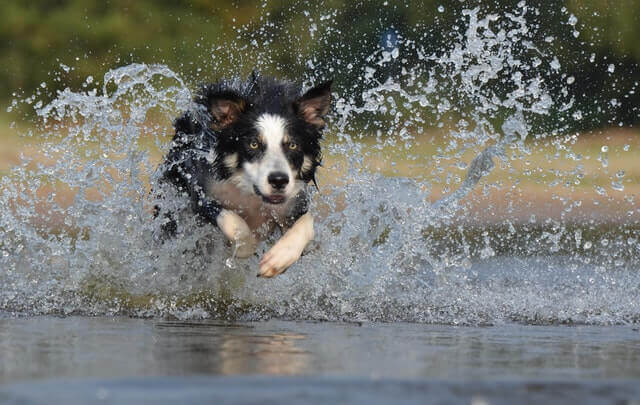 Transtorno obsessivo em Border Collies