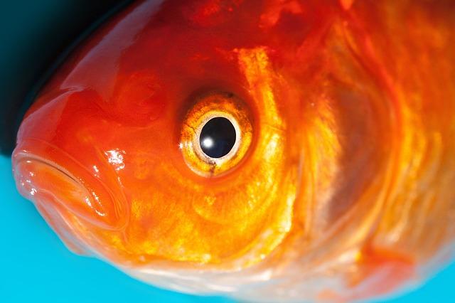 Transtornos oculares comuns em peixes